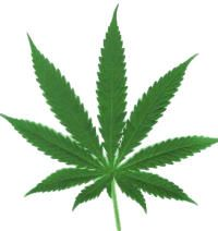 hoja de cannabis, marihuana